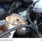 Marderbiss durch Steinmarder - marder vertreiben, marder im auto